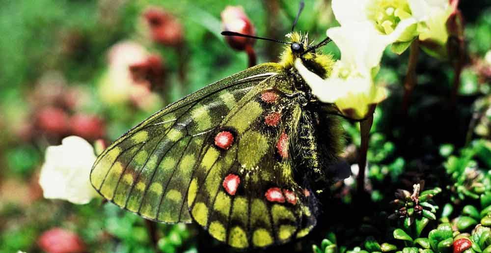 高山蝶の写真
